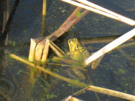 lowestoft_frog-in-pond_apr-09.jpg