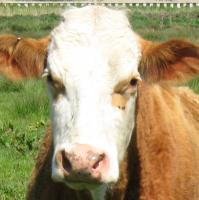 lowestoft_brown-cow-closeup.jpg