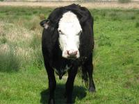 lowestoft_cow_black.jpg