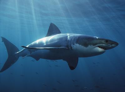 gw shark